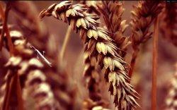 Все для народа – зерновые дорожают, чтобы резко подешеветь?